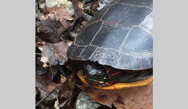 Eastern Painted Turtle image courtesy of Brianna Primiani (CC BY-NC 4.0)