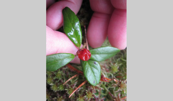 Lingonberry image courtesy of Lena Struwe (CC BY-NC 4.0)