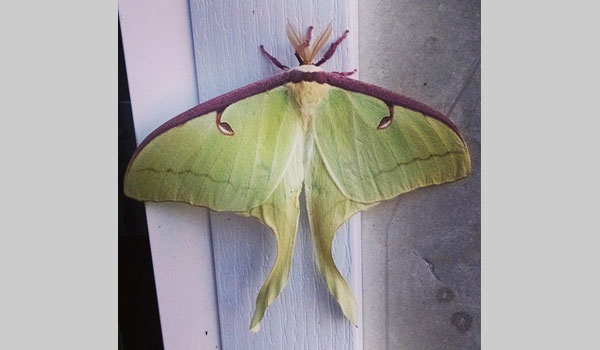 Luna Moth - image courtesy of Lauren Petrone (CC BY-NC 4.0)