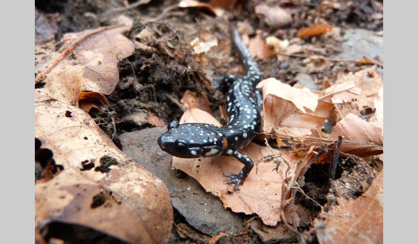Northern Slimy Salamander image courtesy of Nicholas Pollock(CC BY-NC 4.0)
