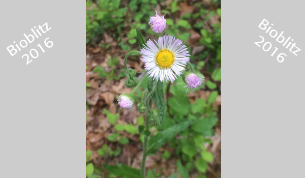 Philadelphia fleabane (Erigeron philadelphicus) image courtesy of Jason Hafstad (CC BY-NC 4.0)