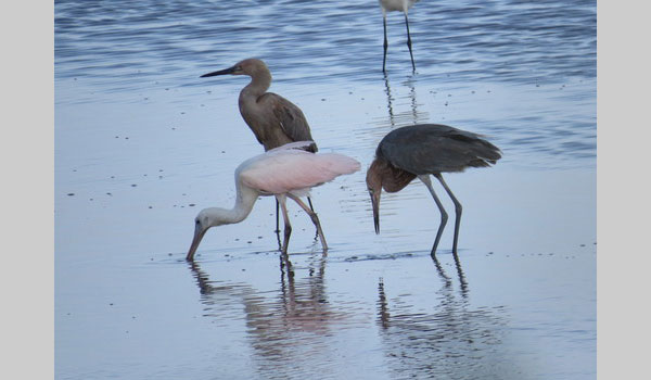 Roseate spoonbill and some other birds; (Platalea