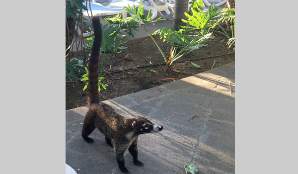 White-nosed Coati image courtesy of Julia Boldyreva (CC BY-NC 4.0)