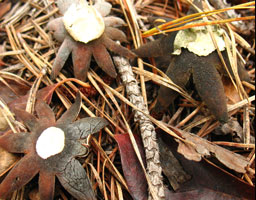 Photo: Earth Star Fungus.